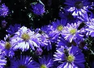 Michaelmass daisies